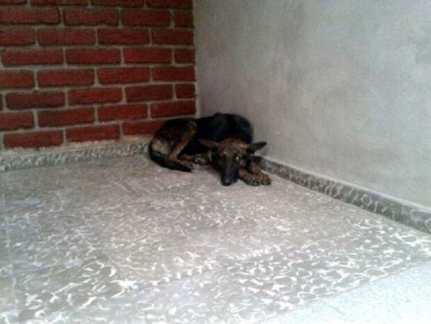 Cadela percorre 160km em busca das pessoas que lhe demonstraram amor