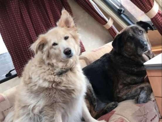 Cãozinho de coração partido não para de abraçar travesseiro do irmão desde que ele faleceu