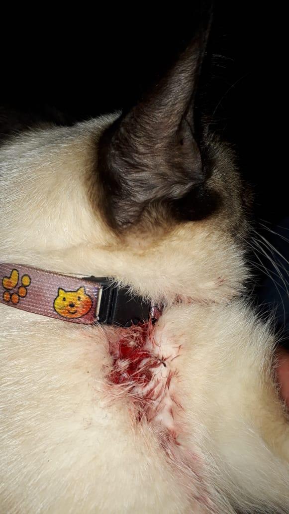 Gato fica ferido após ser atingido por espingarda de chumbinho no Nova Lima
