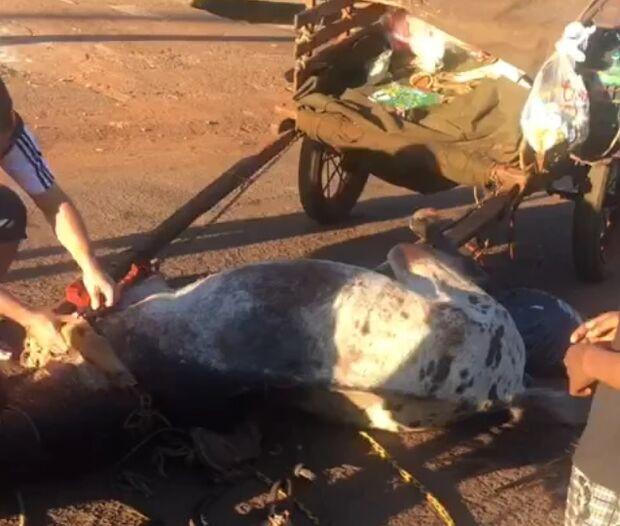Cavalo puxando carroça desmaia de exaustão em Dourados