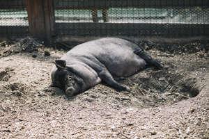 Ladrões abatem e furtam porco de 100 quilos em chácara