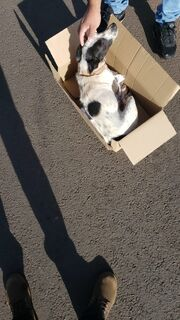 Cachorro é atropelado por veículo em alta velocidade e motorista foge sem prestar socorro