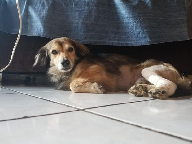 AJUDA: cachorro com tumor maligno precisa de remédios para quimioterapia