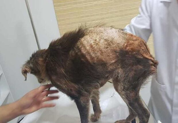 Família muda de casa e abandona 'Princesa'; cachorra foi resgatada muito doente