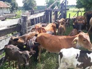 Com manejo e gestão produtores de leite de Aquidauana triplicam produção diária