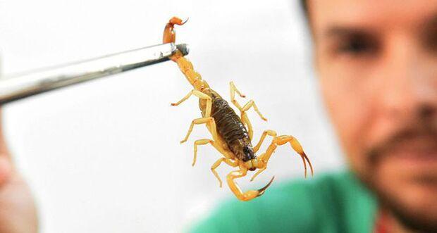 ALERTA: mesmo no frio, acidentes com escorpiões aumentam em Campo Grande
