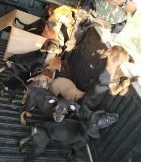 PMA autua comerciante em R$ 6 mil por maus-tratos e apreende 12 filhotes de cachorros