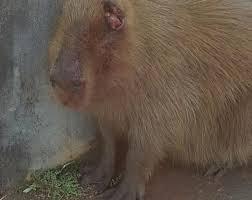 Capivara é agredida a pauladas, amarrada em árvore e homem acaba preso