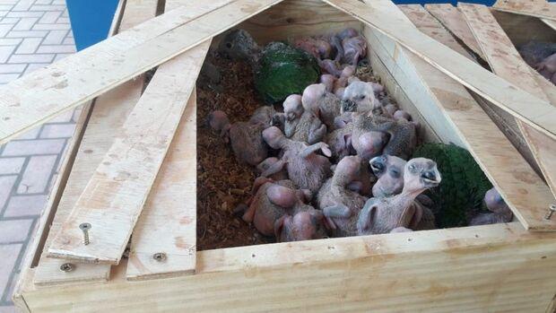 Traficante é detido com 150 papagaios dentro de Fiat Uno na BR-267