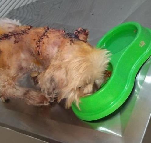 Cãozinho Toby teve pele do pescoço arrancada e agora repousa após cirurgia