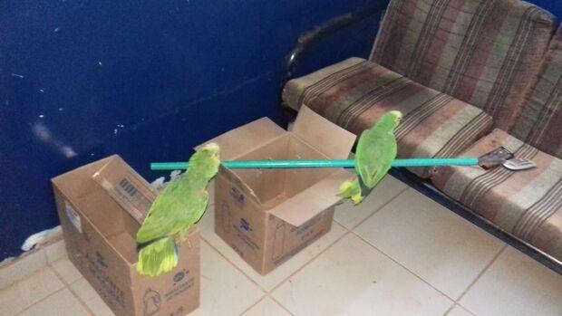 Operação Bocaiúva: PMA recolhe papagaios domesticados abandonados em via pública