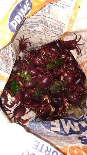 Homem é flagrado com 2.500 caranguejos em porta-malas de carro