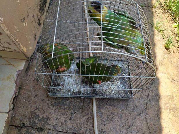 Mulher é multada pela PMA por manter papagaios em cativeiro