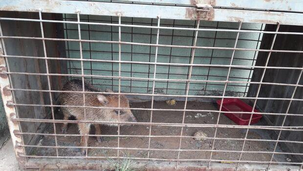 PMA recolhe filhote de queixada ferido em Porto Murtinho e leva para Campo Grande