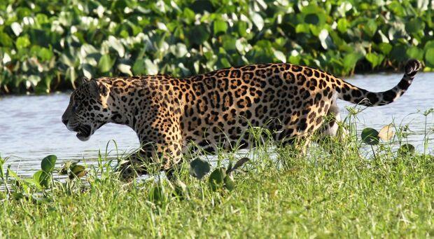 Belgo Arames faz parceria com a ONG Panthera Brasil para preservação da onça-pintada