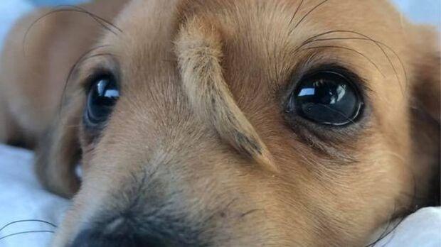 Filhote de cão com rabinho na testa é resgatado nos EUA