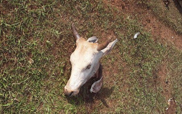 Ladrões invadem fazenda e abatem gado de 12 arrobas em Nova Andradina