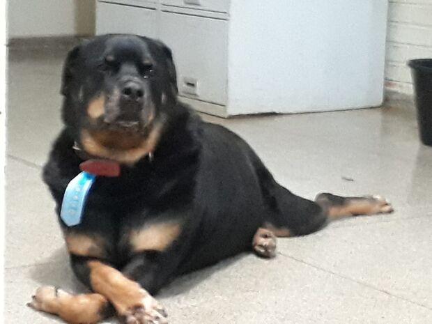 Cão policial precisa de cirurgia e Derf faz campanha para pagar despesas