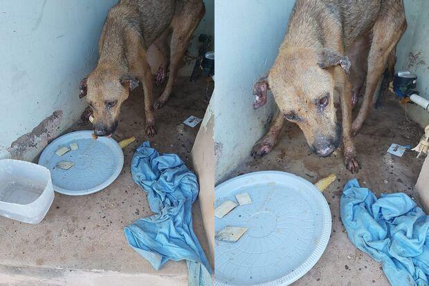 Após resgatar cadelinha quase morta, defensora pede ajuda para pagar despesas com veterinário