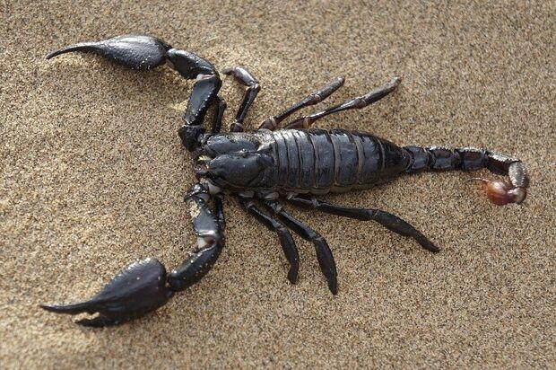Dedetização, quintal limpo e ralos fechados são algumas dicas para evitar escorpião