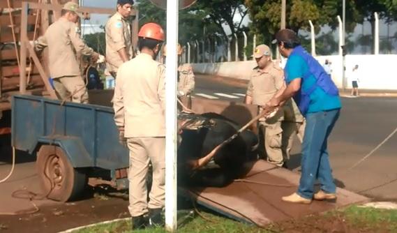 Dono de touro que atacou pedestres na Guaicurus perde prazo e será investigado pela polícia