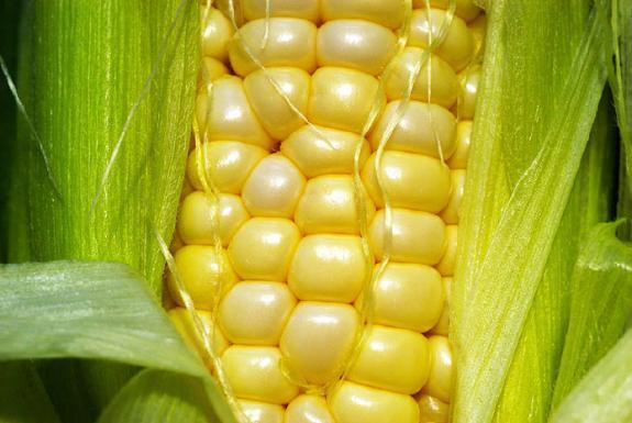 Brasileiro consome em média 18 quilos de milho por ano, segundo Abimilho