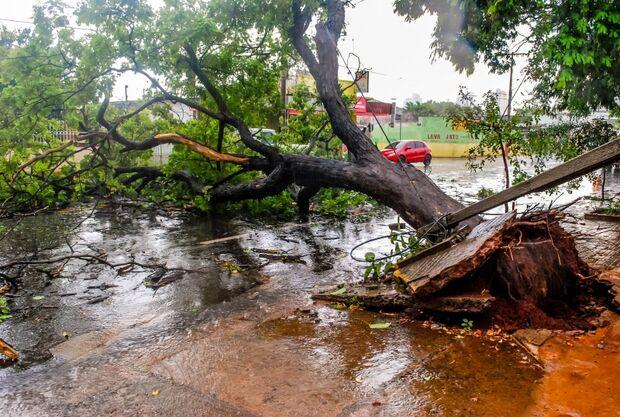 Árvore gigantesca cai na Avenida das Bandeiras