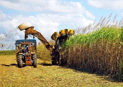 Geadas e baixa renovação dos canaviais podem afetar produção de açúcar no próximo ano
