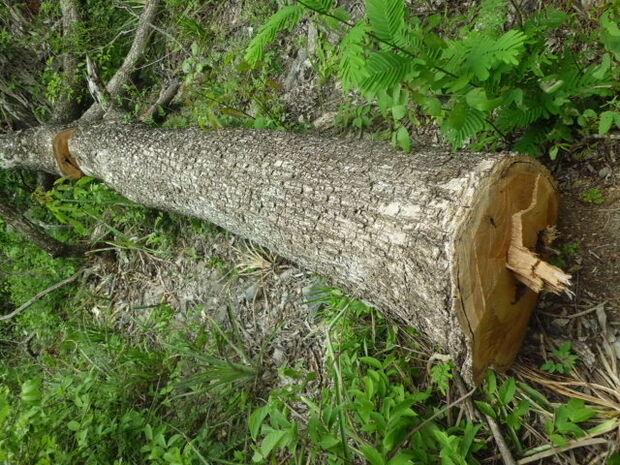 Fazendeira é autua em R$39,36 mil por extração de madeira