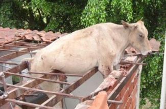 Duas vacas surpreendem em telhado de oficina