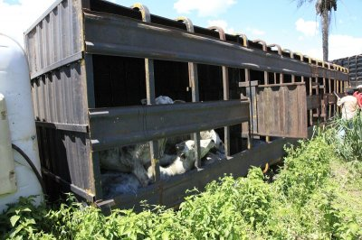 Animais morrem após caminhão boiadeiro tombar na BR-163
