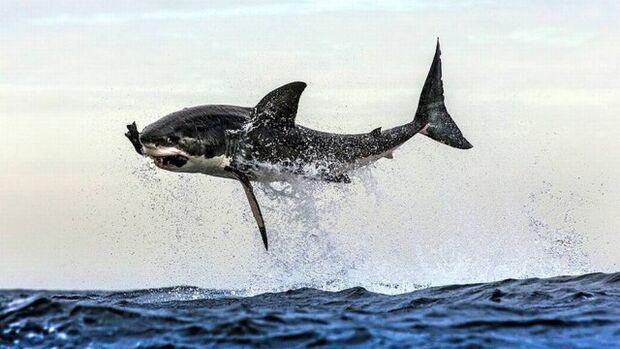 Tubarão branco salta sobre o mar para devorar foca no Sul da África