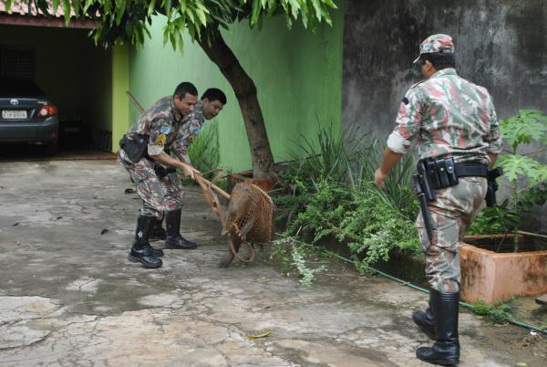 Capivaras invadem casas e são capturadas pela PMA