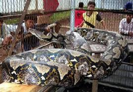 Cobra estrangula e mata segurança de hotel de luxo na Indonésia