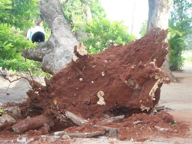 Ventania provoca queda de árvores na Capital