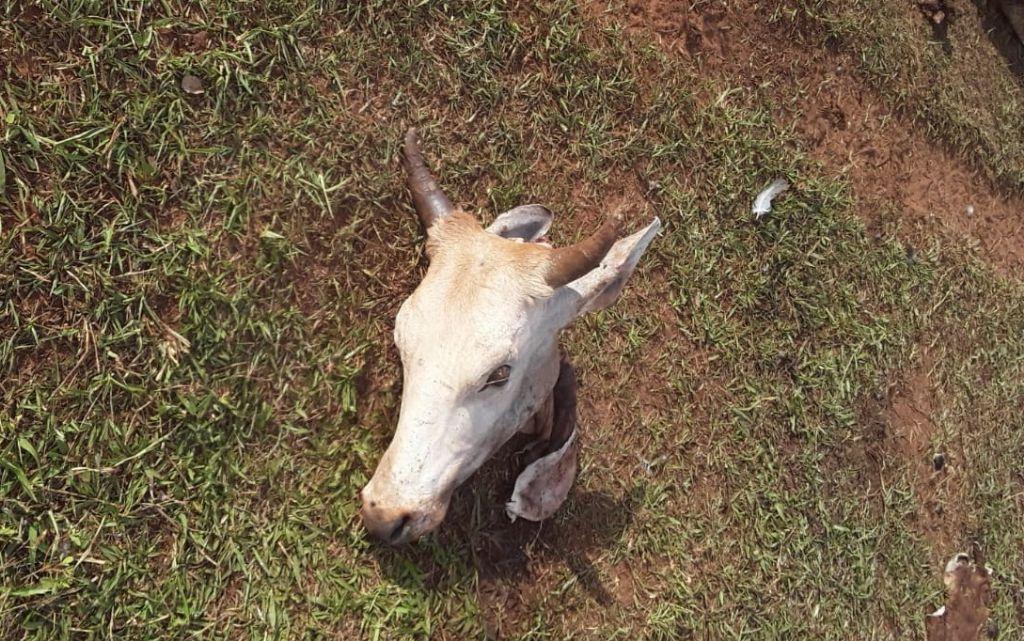Ladrões invadem fazenda e abatem gado de 12 arrobas em Nova Andradina - Top Mídia News